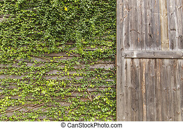 Ivy on the old house, Wooden door with green leaves