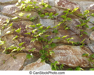 Ivy on the stone wall