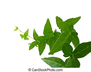 Ivy on white background 1