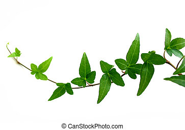 Ivy on white background 2 - Green ivy closeup on white...