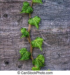 Ivy on Wood - Rustic Wallpaper - A fresh, green branch of ...