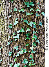 Ivy ordinary or ivy climbing (lat. Hedera helix) winds on...
