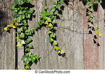 Ivy over redwood fence