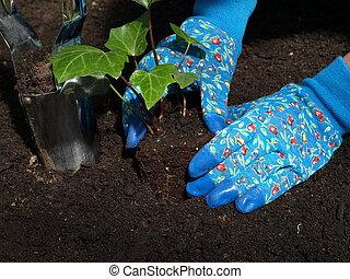 Ivy seedling