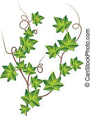 ivy., vector, groene, illustratie
