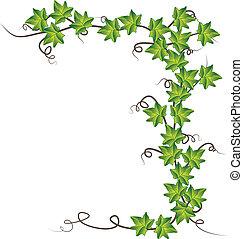 ivy., wektor, zielony, ilustracja
