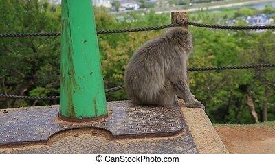 Iwatayama Monkey Park - Close up of Japanese macaque sitting...