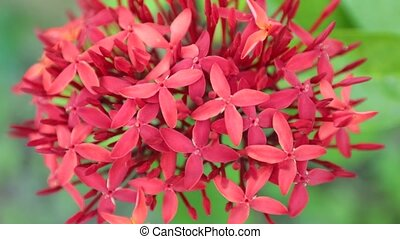 Ixora Coccinea Jungle Geranium - Ixora coccinea also known...
