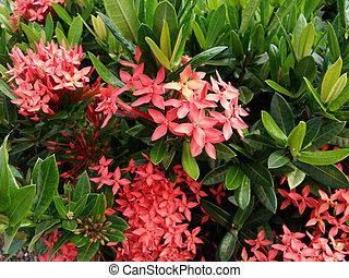 Ixora flower in garden summer season