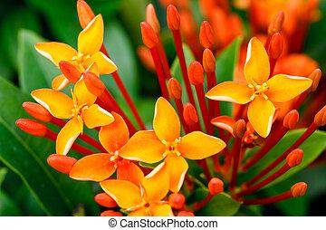 ixora, haut fin, fleurs, rouges, tas