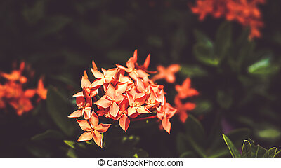 Ixora red flower bloom in Spring Summer time