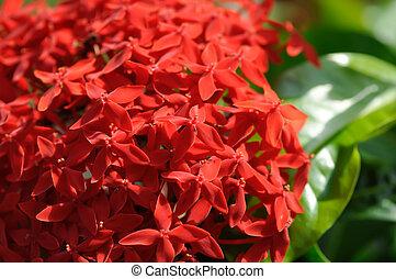 Ixora stricta Roxb or West Indian Jasmine, red West Indian ...