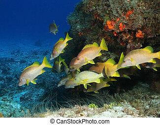 izbogis, -, fish, cozumel
