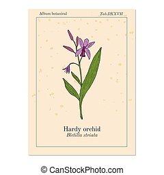 jácint, berendezés, bletilla, striata, bátor, gyógyító, vagy, orhidea