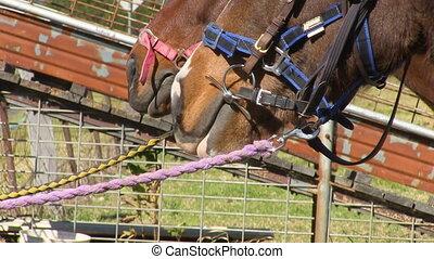 język, koń, długi
