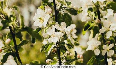 jabłko, natura, kwitnąc, drzewo, kwiaty, drzewo