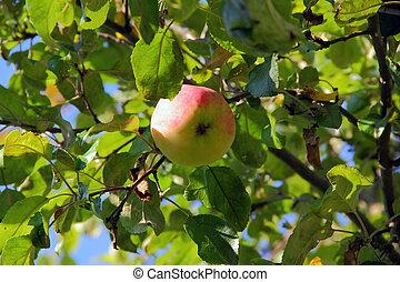 jablko, filiálka