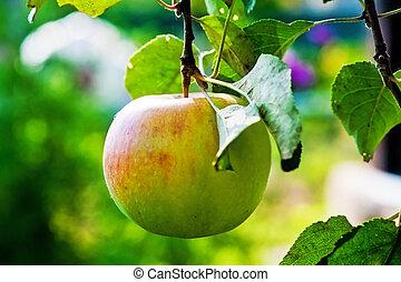 jablko, zralý, filiálka