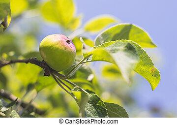 jabloň, nezkušený