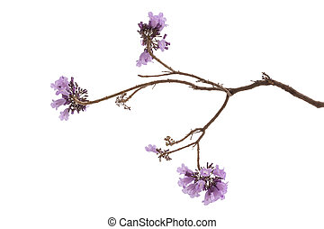 jacaranda, fleur, isolé, fond, blanc