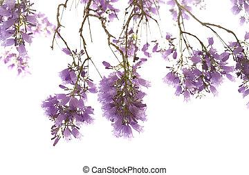 jacaranda, fleurs, isolé, fond, blanc