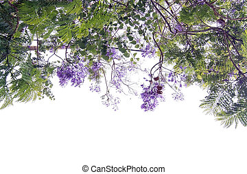 jacaranda, floraison, arbre