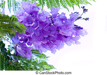 Jacaranda Flowers - Jacaranda flower tree isolated on white...