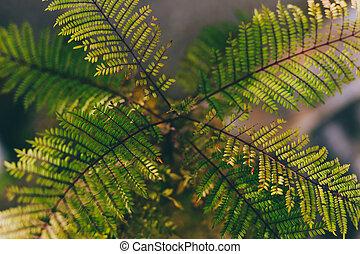 jacaranda, indigène, arrière-cour, ensoleillé, extérieur, australien, plante