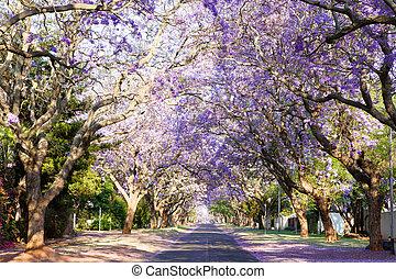 Jacaranda tree-lined street in South Africa's capital city