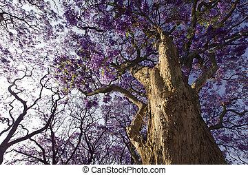 Jacaranda tree trunk with small flowers and sky - Jacaranda...