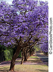 jacaranda trees lining the street in Pretoria, South Africa,...