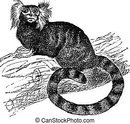 jacchus), grabado, mono tití, común, (hapal, vendimia