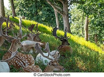 jachère, forêt, troupeau, cerf
