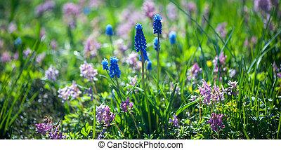 jacinthe, bleu, été, printemps, clairière, fond, vert, fleurir, sun.