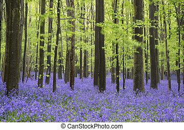 jacinthe des bois, printemps, forêt, vibrant, paysage,...