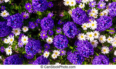 jacinthe, fleur pourpre, jardin, pâquerette