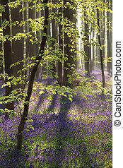jacinthe, fleurs ressort, soleil, forêt