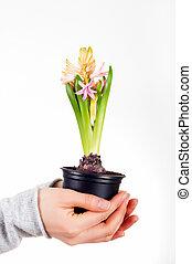 jacinthe, plante, tenue, maison, femme, isolé, fond, mains, blanc