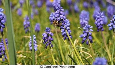 jacinthe, raisin, abeille