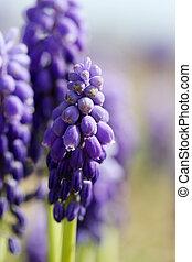 jacinto de la uva