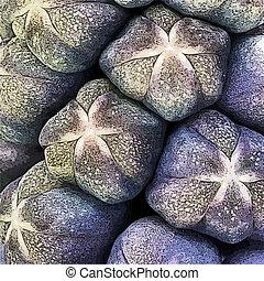 jacinto de la uva, ilustrado