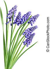 jacinto, muscari, flores