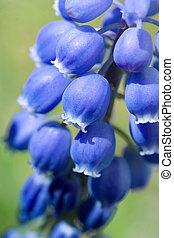 jacinto, uva