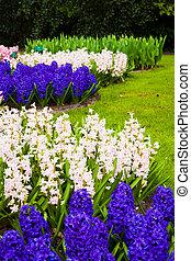 jacintos, en, springtime., jardín, paisaje