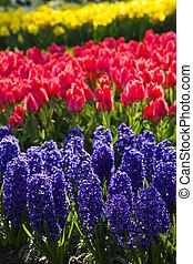 jacintos, tulipanes, y, narcisos, en, primavera