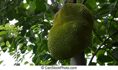 jack fruit growing hanging from branch on tree in farm