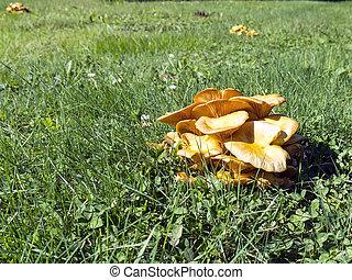 Jack O Lantern Mushroom - Toxic Omphalotus illudens Mushroom...