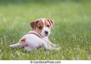 jack russel puppy on green lawn