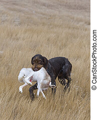 Drahthaar Hunting dog with a Jackrabbit