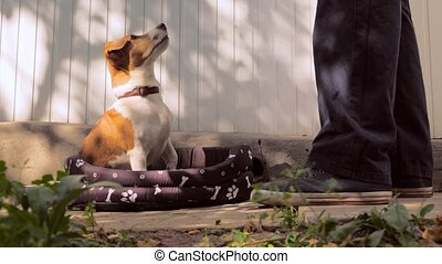 Jack Russel dog pet white and brown colors with collar on ...